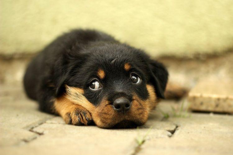 rottweiler scared puppy